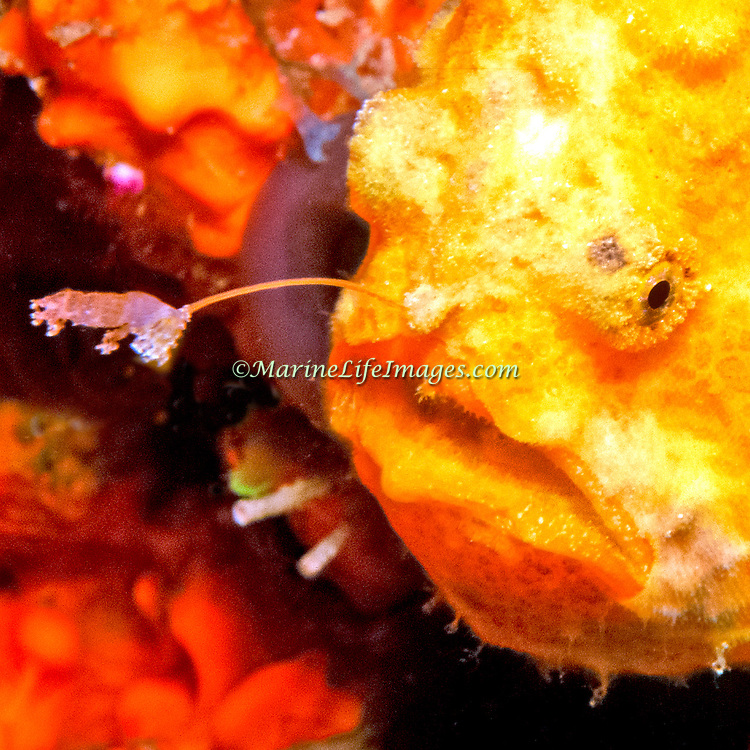 Longlure Frogfish inhabit coral reefs, often change color to blend with sponges in Tropical West Atlantic; picture taken Dominica.