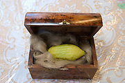 An Etrog (Citron) on a bed of horsehair inside a presentation box. The etrog is used in the mitzvah of the four species for the festival of Sukkot, the feast of Tabernacles. The holiday of Sukkot commemorates the forty-year period during which the children of Israel were wandering in the desert.