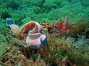 Peppered moray eel, Siderea grisea, hunting with red lionfish, Pterois volitans, in algae in northern Red sea, Egypt