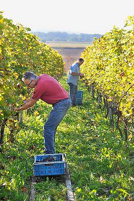 Nederland, Groesbeek, 30-9-2011Bij de biologische wijngaard de Colonjes zijn vrijwilligers bezig met de druivenoogst van dit seizoen. Door het mooie najaarsweer kunnen de druiven goed suiker aanmaken en is de oogst van mooie kwaliteit.Foto: Flip Franssen/Hollandse Hoogte