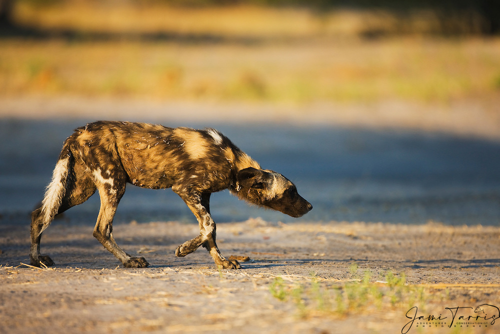 Submissive lower ranking african wild dog (Lycaon pictus) approaches the pack,Khwai River,Moremi Game Reserve, Botswana,Africa
