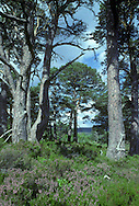 Caledonian Pine Forest comprising Scots Pine, with an understorey of Bilberry and Heather. Scots Pine Pinus sylvestris (Pinaceae) HEIGHT to 36m. A conical evergreen when young and growing vigorously, but becoming much more open, and flat-topped with a long bole when an older tree. BARK Reddish- or grey-brown low down on the trunk, but markedly red or orange higher up the trunk in mature trees. The lower trunk is scaly, and higher up it becomes more papery. BRANCHES Irregular, with broken-off stumps of old branches remaining on the trunk lower down. LEAVES Needles, borne in bunches of 2, grey-green or blue-green, up to 7cm long, usually twisted with a short point at the tip. REPRODUCTIVE PARTS Male flowers are yellow and borne in clusters at the ends of the previous year's shoots, shedding pollen in late spring. Female flowers grow at the tips of new shoots; they are usually solitary, and are crimson at first, ripening to brown by the end of the summer and persisting through the winter. In the second summer they enlarge and become green and bluntly conical, ripening to grey-brown in the autumn; they do not open their scales and shed seeds until the following spring. Each cone scale has a blunt projection in the centre. STATUS AND DISTRIBUTION A tree native to Scotland, and originally much of Britain, as well as a wide swathe of Europe from Spain to Siberia and Turkey.