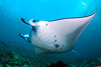 Giant Manta feeding in the current..Shot in Indonesia