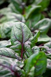 Spinach F1 Rubino