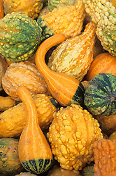 North America, USA, Massachusetts, Acton. Different shapes and textures of squash (gourds) at Halloween