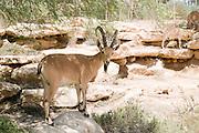 Israel, Negev, Outskirts of Kibbutz Sde Boker, Nubian Ibex (Capra ibex nubiana AKA Capra nubiana) close up of a large mature male. The herd can be seen in the background Summer July 2008