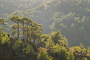 Pine trees in mountain landscape on sunny summer day, Plomari, Lesbos, Greece