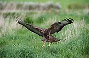 Buzzard flying low over grassland, landing in long grass Buteo buteo, UK, captive