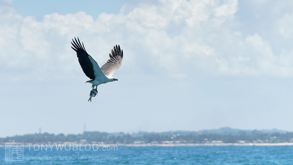A white-bellied sea eagle (Haliaeetus leucogaster) in flight off the coast of northeast Sri Lanka with a fish grasped in its talons