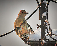 Female Red-bellied Woodpecker. Image taken with a Nikon D5 camera and 600 mm f/4 VRII lens (ISO 800, 600 mm, f/4, 1/1250 sec)