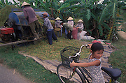 Rice harvest, Dalat