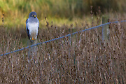 Male hen harrier (Circus cyaneus) on the shores of Poole Harbour. Dorset, UK.