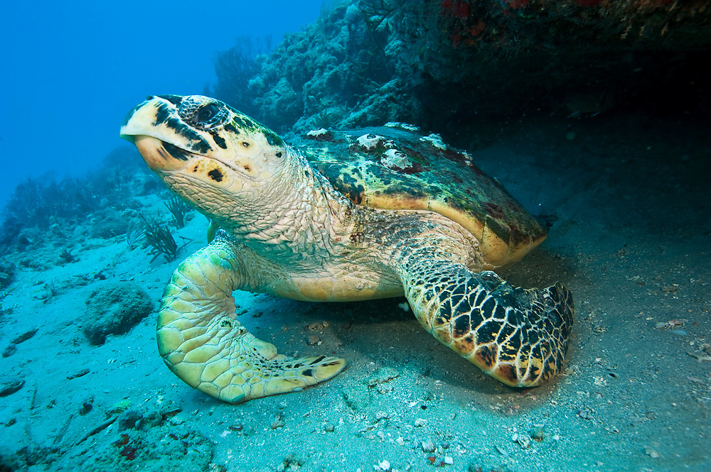 Hawksbill Sea Turtle, Eretmochelys imbricata, photographed in Palm Beach County, FL. Hawksbills live exclusively on coral reefs where they eat primarily sponges. Hawksbills found along the east coast of Florida are born in the Caribbean and migrate northward to mature and feed on the abundant sponges found along the Palm Beaches. Image available as a premium quality aluminum print ready to hang.