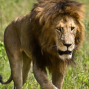 African Lion (Panthera leo) large male in Masai Mara Game Reserve. Kenya, Africa