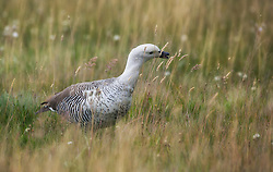 Upland goose (Chloephaga picta) in Tierra del Fuego, Argentina
