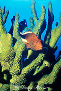 freckled or blackside hawkfish, Paracirrhites forsteri, <br /> perched in antler coral, Pocillopora eydouxi<br /> Molokini Crater, Maui, Hawaii, USA ( Pacific )