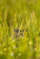 Great snipe (Gallinago media), Matsalu Bay Nature Reserve, Estonia