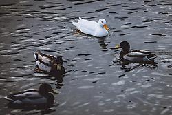 THEMENBILD - eine weisse und dunkle Enten am Zeller See, aufgenommen am 09. Maerz 2021 in Zell am See, Österreich // a white and dark ducks on the Lake Zell, Zell am See, Austria on 2021/03/09. EXPA Pictures © 2021, PhotoCredit: EXPA/ JFK