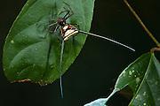 Long-spined Micrathena Spider (Micrathena sp)<br /> Yasuni National Park, Amazon Rainforest<br /> ECUADOR. South America<br /> HABITAT & RANGE: