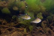 Thread-finned Cichlid (Acarichthys heckelii) in Aquatic Vegetation WILD<br /> Permanant Freshwater Pond<br /> Savannah<br /> Rupununi<br /> GUYANA<br /> South America<br /> RANGE: Brazil and British Guyana