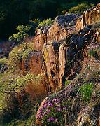 Verbena blooming on the slope of Elk Mountain, Charons Garden Wilderness Area, Wichita Mountains National Wildlife Refuge, Oklahoma.