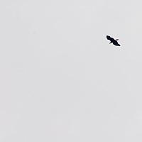 A bald eagle (Haliaeetus leucocephalus) flies over the Sierra Nevada in California