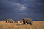 Elephant family walks through the high Savannah grass.