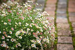 Erigeron karvinskianus syn. mucronatus growing along the edge of a brick path. Mexican daisy