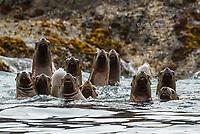 Steller Sea Lions, Gwaii Haanas National Park Reserve, Queen Charlotte Islands, BC, Canada