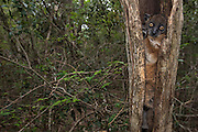 Hubbard's Sportive Lemur (Lepilemur hubbardi) - previously assumed to be L. ruficaudatus<br /> Zombitse Reserve (high plateau between Isalo National Park and Tulear) MADAGASCAR. This reserve, only 21,500ha constitutes the last remnants of transition forest between the west & south floristic domains. It is a medium-sized nocturnal lemur with a long tail and one of the largest of the lepilemur species. Length: 500-560mm; Weight 500-800 grams. They cling vertically to tree trunks and jump large distances with their powerful hind legs. Tree holes or tree forks are the preferred sleep sites where they can be seen during the day resting. They are usually found singularly except during breeding season and when they have offspring. They are primarily folivorous although the fruits of some trees are also taken. It can tolerate leaves with high concentrations of potential toxins during the dry season and is even able to subsist on dry leaves. It may in some circumstances re-ingest its own faeces. During daytime resting this species is also known to have one of the lowest metabolic rates of any mammal. This is raised substantially prior to the night-time activity. This is a further adaption to help its survival on a very poor quality diet and also live at relatively high densities. A single young is born around October. At first the infant is carried by its mother in her mouth, it later clings to the fur on her back. When it is older still, the mother may leave or 'park' it in a tree hole or similar 'safe' site while she forages. They are preyed upon by  Madagascar long-eared owl (Asio madagascariensis), Madagascar harrier-hawk (Polyboroides radiatus) and fosa (Cryptoprocta ferox). The latter two being able to excavate it from its daytime holes.<br /> HABITAT & DISTRIBUTION: Dry deciduous forest of w. Madagascar. Onilahy River inland to Zombitse and n to the Manombolo River.<br /> THREATS: Forest fires are common in its range to increase cattle pasture. Also hunted.<br /> ENDEMIC TO MADAGASCAR