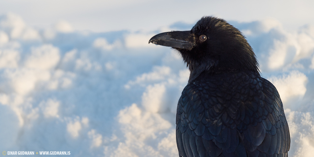 The Common Raven (Corvus corax), also known as the Northern Raven, is a large, all-black passerine  bird in the crow family.
