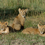 African Lion (Panthera leo) Young cubs in Lion Pride. Masai Mara National Park. Kenya. Africa.