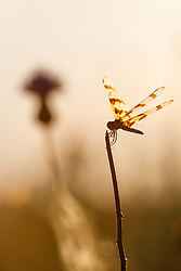 Dragonfly and wildflowers, Blackland Prairie, High Point Park and Wildflower Preserve, Farmersville, Texas, USA.