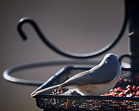 Tufted Titmouse. Image taken with a Nikon D5 camera and 600 mm f/4 VR lens (ISO 200, 600 mm, f/4, 1/1250 sec)