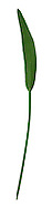 LESSER SPEARWORT Ranunculus flammula (Ranunculaceae) Height to 50cm. Upright or creeping perennial. Often roots where leaf nodes touch the ground. Favours damp ground, often beside rivers. FLOWERS are 5-15mm across and usually solitary; borne on furrowed stalks (Jun-Oct). FRUITS are beaked but not winged. LEAVES are oval (basal leaves); stem leaves are narrow. STATUS-Widespread, commonest in the N.