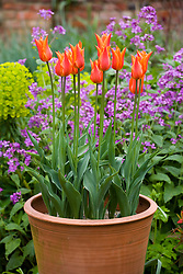 Tulipa 'Ballerina' in tall terracotta pots in front of honesty in the oast garden
