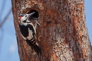 Male Syrian Woodpecker (Dendrocopos syriacus) The Syrian Woodpecker is a resident breeding bird from southeastern Europe east to Iran. Its range has expanded further northwest into Europe in recent years. Syrian Woodpecker is 23–25 cm long, and is very similar to the Great Spotted Woodpecker, Dendrocopos major. Photographed in Israel