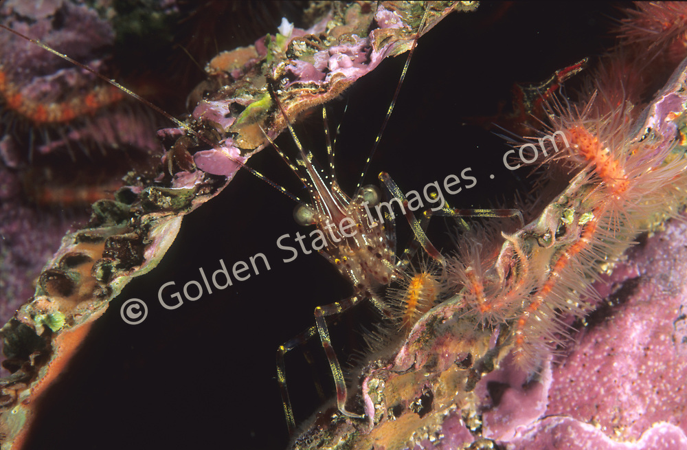 Length to 3 inches.    <br /> <br /> Range: Alaska to California Coast <br /> <br /> Species: Pandalus stenolepis