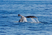 Humpback whale tail, Santa Barbara Channel, Ventura, California