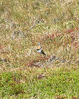 Rufous-chested Dotterel (Charadrius modestus). Stanley, Falkland Islands. Image taken with a Leica T camera and 18-56 mm lens.