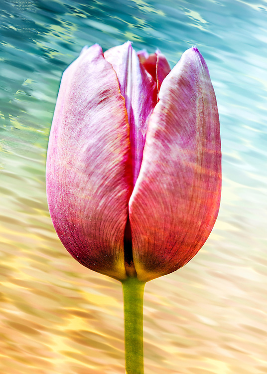 A pink tulip in front of rippled and flowing water
