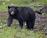 Big Black Bear, Grand Teton National Park