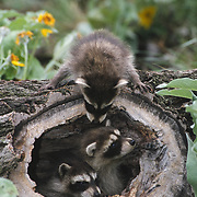 Young raccoon (Procyon lotor) in a hollow log surrounded by arrowhead balsamroot wildflowers. Montana, Captive Animal