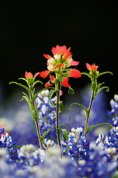 Indian paintbrush and bluebonnets , Cedar Hill State Park, Texas, USA.