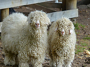 Long fleeced breed of sheep. Photographed in The South Island, New Zealand