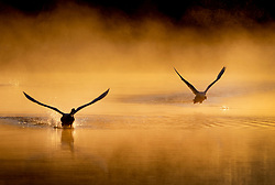 © Licensed to London News Pictures. 07/04/2021. London, UK. Two swans fly from a misty pond in freezing conditions at dawn in Bushy Park, south west London. Below zero temperatures overnight have brought frost to some parts of the south. Photo credit: Peter Macdiarmid/LNP