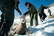 PRICE CHAMBERS / NEWS&GUIDE<br /> Hank Edwards and Aly Courtemanch from the Laramie office of Wyoming Game and Fish secure a sedated bighorn sheep as their Jackson counterpart Doug Brimeyer keeps his eye on more candidates for the agencies research.