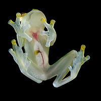 Sun Glass Frog (Hyalinobatrachium aueroguttatum), male. Esmeraldas, Ecuador.