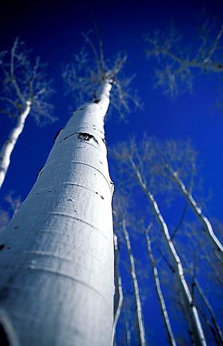 Scenic of aspen trees in winter near Yosemite NP, CA<br />