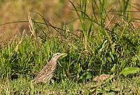 Western Meadowlark, Sturnella neglecta, perches on the ground in Sacramento National Wildlife Refuge, California